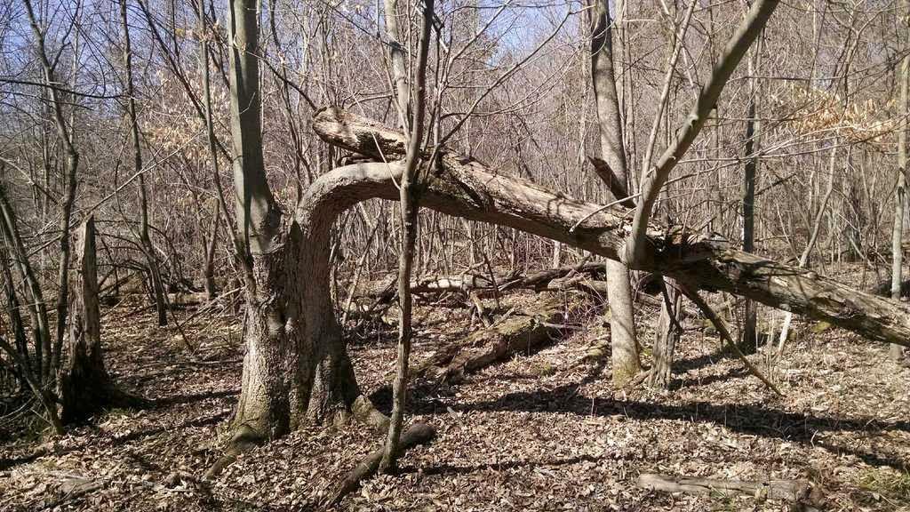 20 year hinge cut 20 year old hinge cut tree for deer habitat
